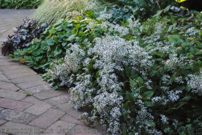 Aster divaricatus (white wood aster)