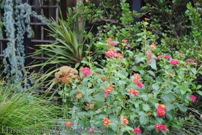 Lantana flowers 'Irene'