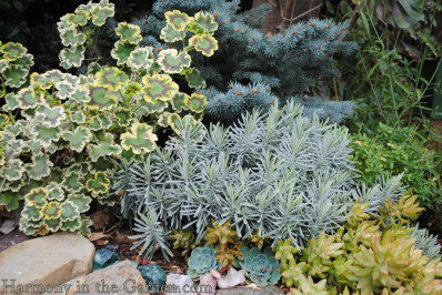 Pelargonium and Blue Spruce combo