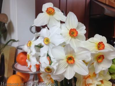 Poeticus ornatus 1870-dark rim Firetail 1910 solid dark orange, old house gardens.com copy