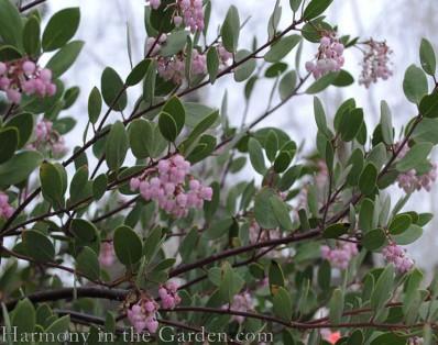Arctostaphylos flower copy 2