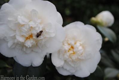 Camellia 'Victory White'