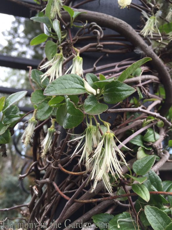 Clematis cirrhosa 'Wisley Cream' seedheads copy