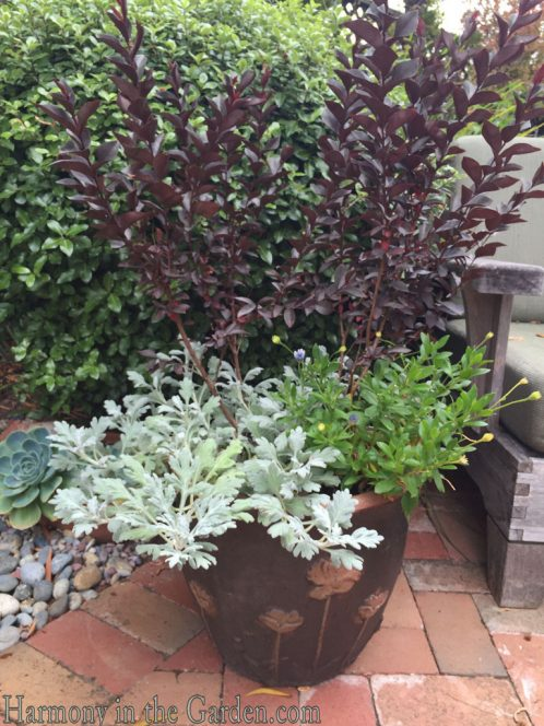 lagerstroemia-mysetic-magenta-by-black-diamond-and-artemesia-silver-cascade