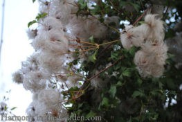 clematis-seed-heads-copy