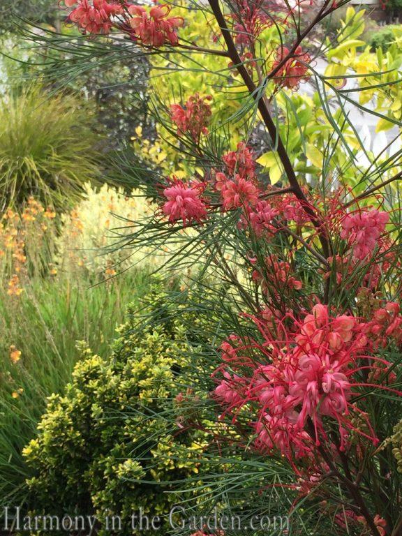 Mediterranean Garden Makeover-Northern California-Drought Tolerant Garden Design-Lawn Removal Ideas-Grevilleas