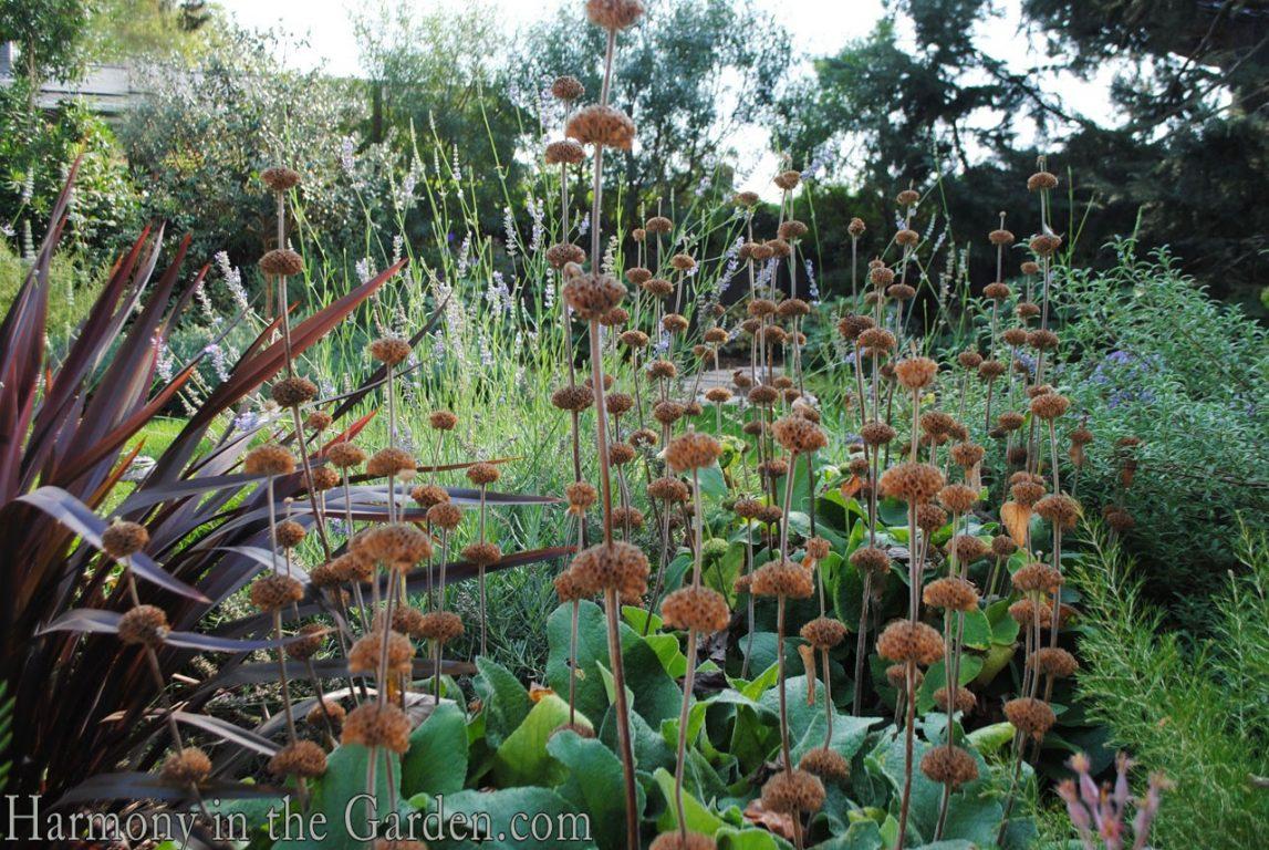 Mediterranean Garden Makeover-Northern California-Drought Tolerant Garden Design-Lawn Removal Ideas-phlomis