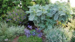Mediterranean Garden Makeover-Northern California-Drought Tolerant Garden Design-Lawn Removal Ideas-melianthus