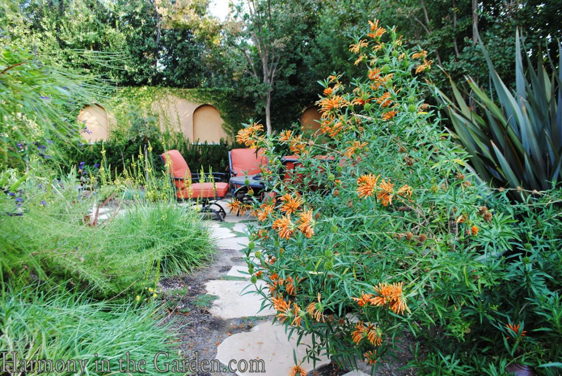Mediterranean Garden Makeover-Northern California-Drought Tolerant Garden Design-Lawn Removal Ideas-lion's tail