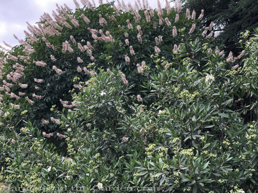 sacramento historic rose garden-california native garden-northern california-pioneer cemetery-buckeye shrub