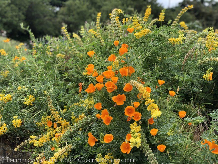 sacramento historic rose garden-california native garden-northern california-pioneer cemetery-lupine