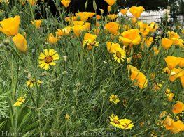 sacramento historic rose garden-perennials-native garden-northern california-pioneer cemetery-california poppies