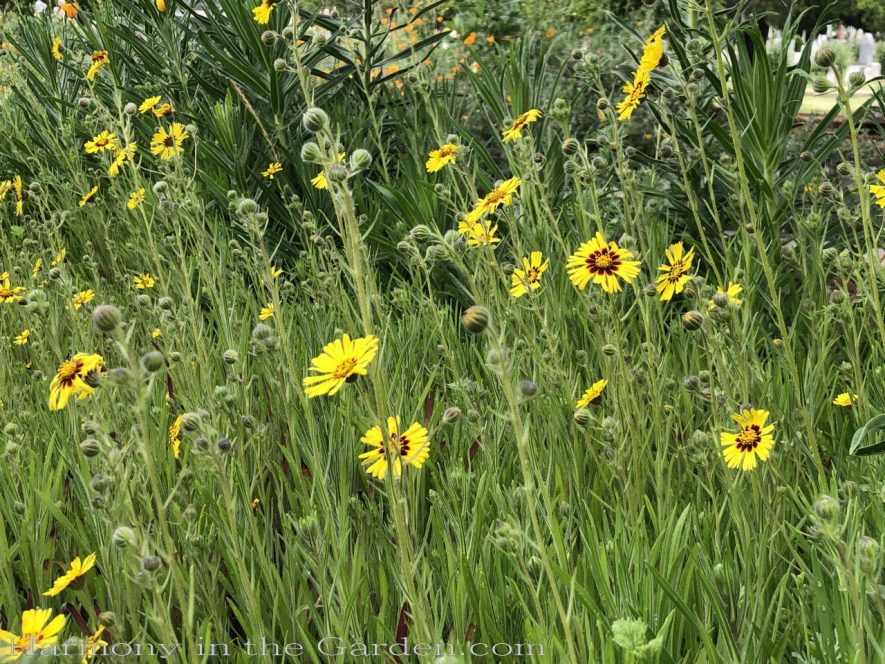 sacramento historic rose garden-california native garden-northern california-pioneer cemetery-madea wildflowers