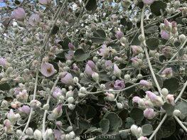 sacramento historic rose garden-california native garden-northern california-pioneer cemetery-fremont's bush mallow
