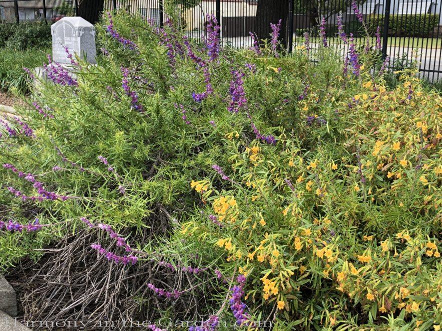 sacramento historic rose garden-california native garden-northern california-pioneer cemetery-blue wooly curls
