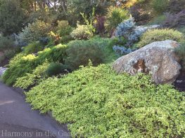 Tiers-Slopes-Northern California Gardens-ceanothus