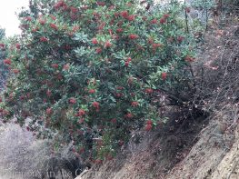 toyon-Tiers-Slopes-Northern California Gardens