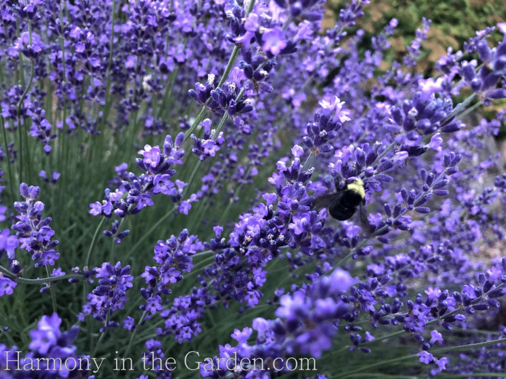 Hidcote lavender deer resistant