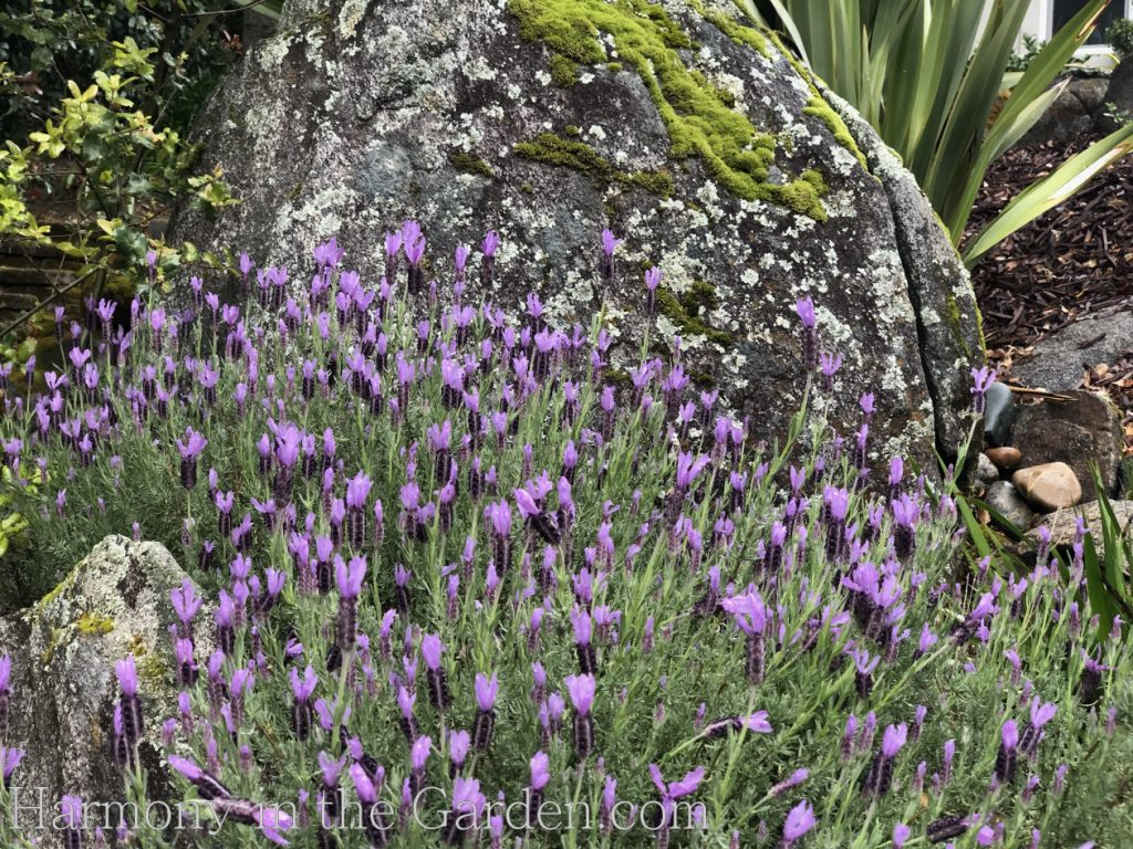 Lavandula stoechas Spanish lavender