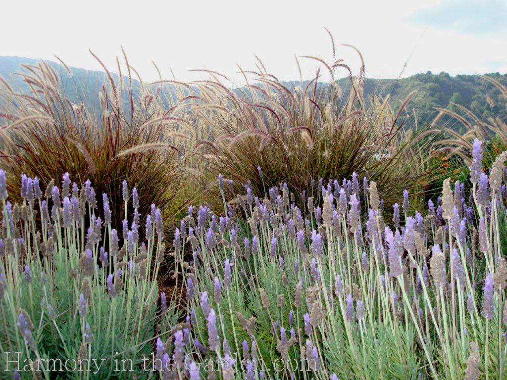Lavender dentata deer resistant garden