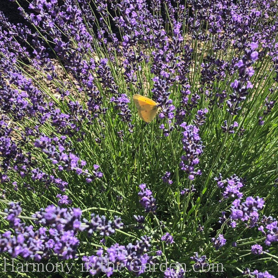 'Munstead' lavender and Alfalfa butterfly