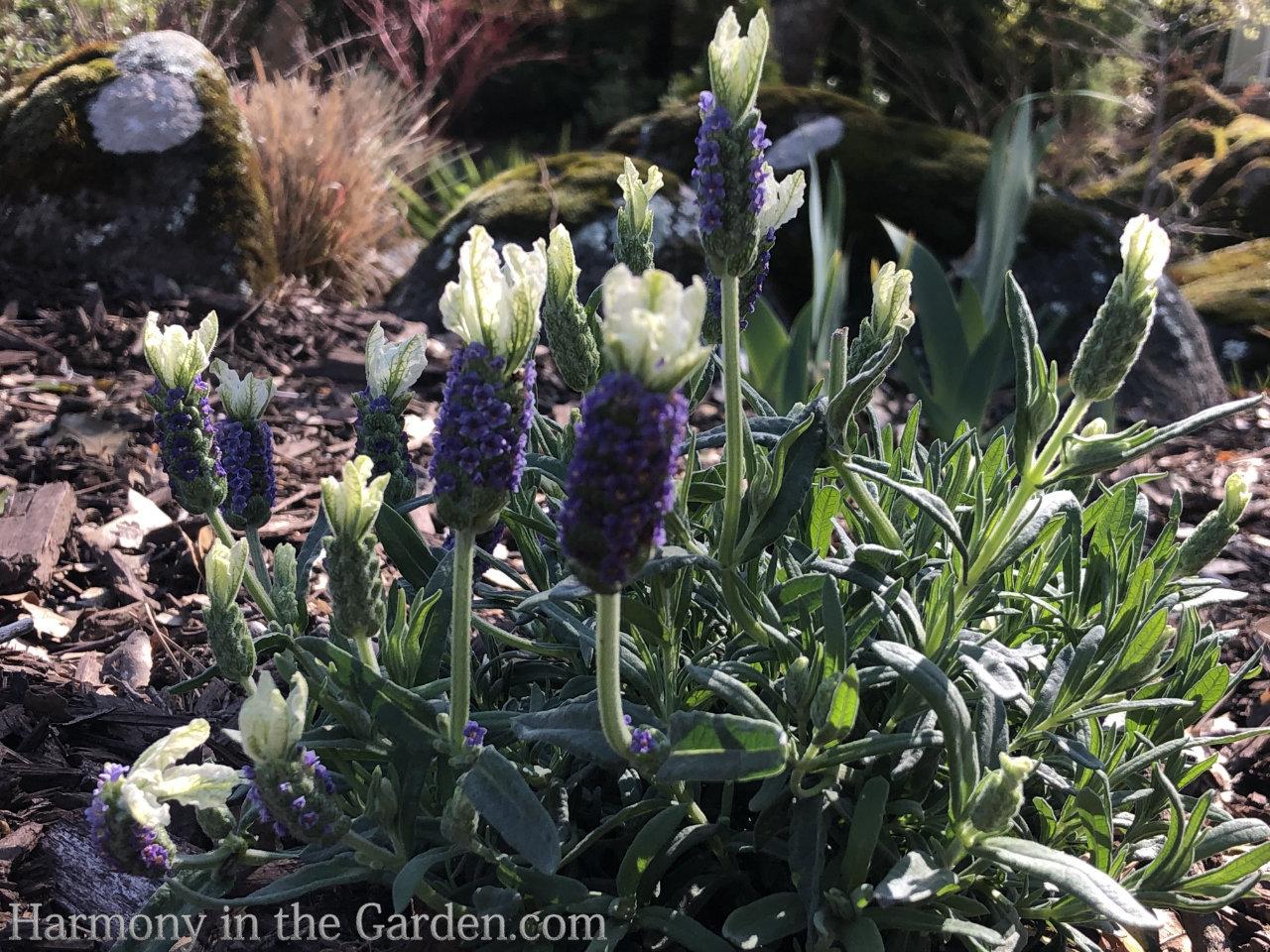 lavender stoechas 'Javelin Forte' White