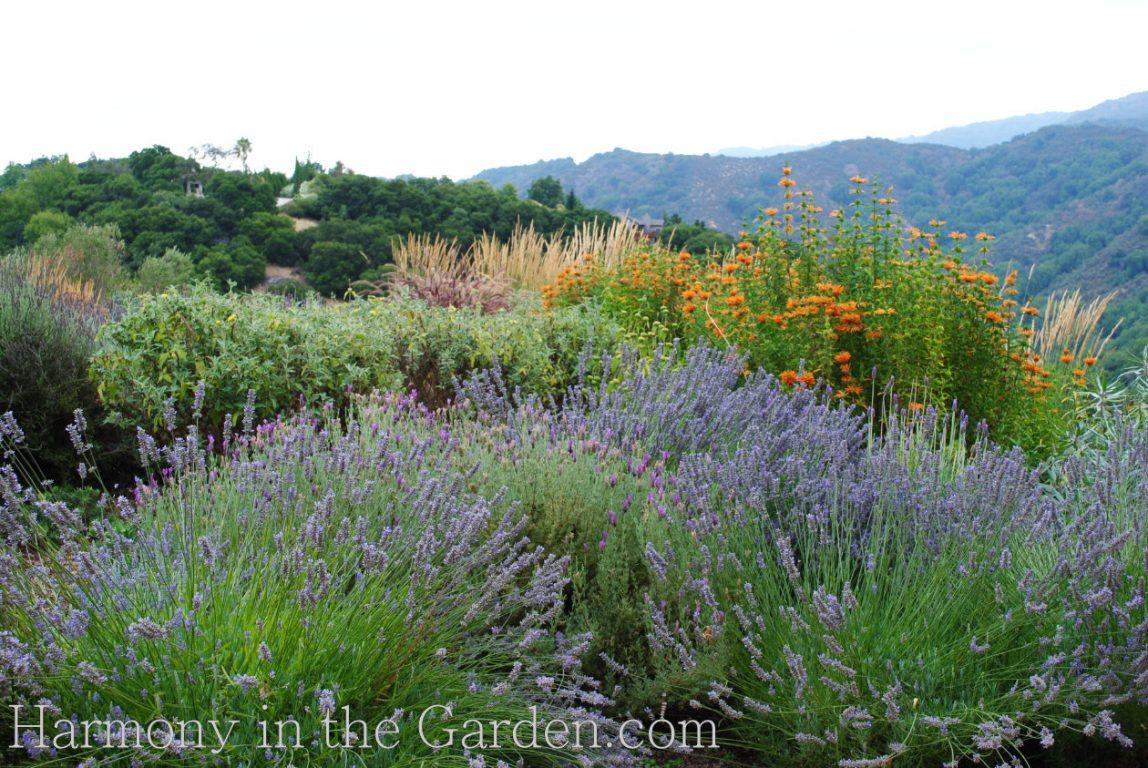 'munstead' 'otto quast' and 'provence' lavender