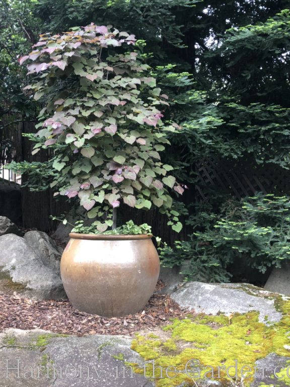 cercis 'ruby falls' container design