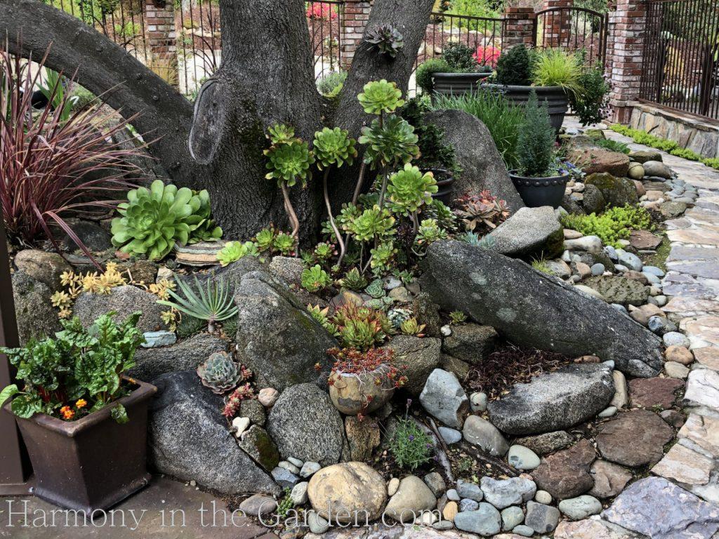 succulents under oak trees