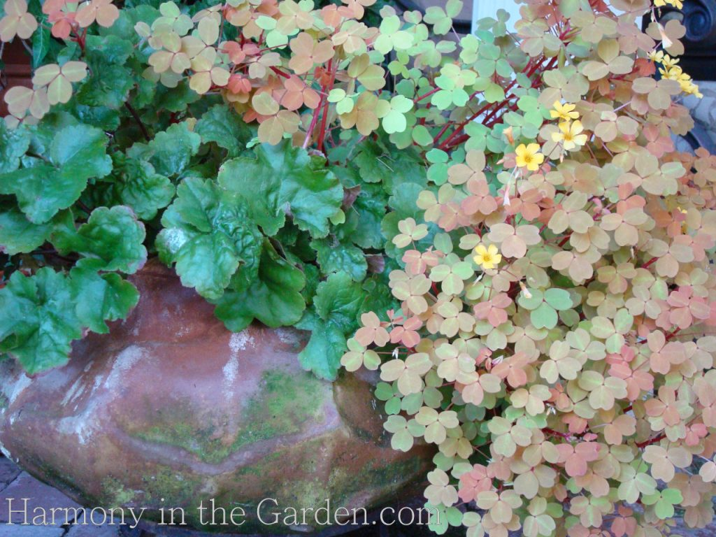 oxalis in the garden