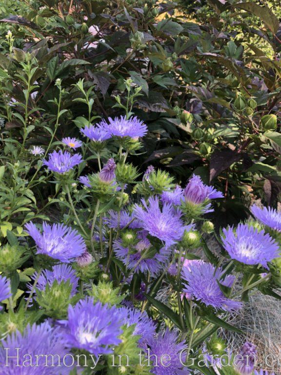 perennials for full sun - stokesia 'blue frills'