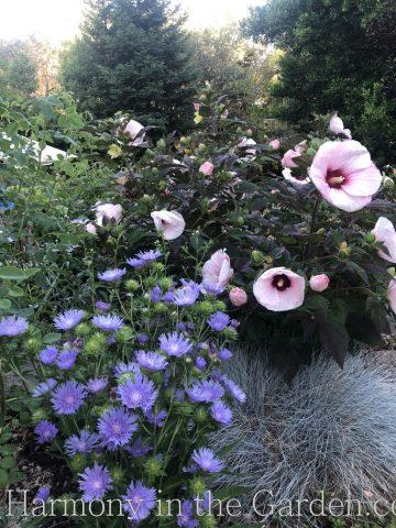 Top Ten Summer Perennials- hibiscus 'Perfect Storm'