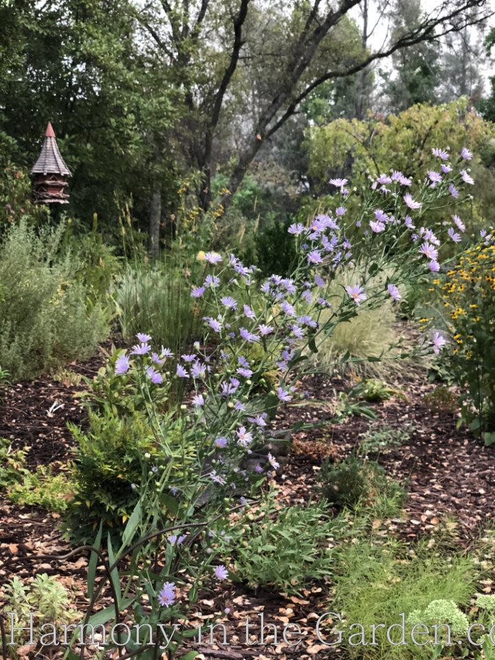 Pollinator Garden - Aster laevis