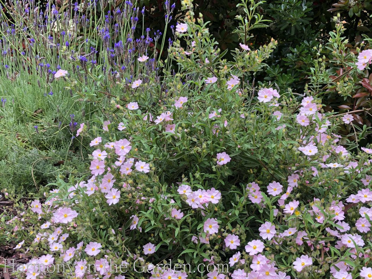 Pollinator Garden - Cistus skanbergii