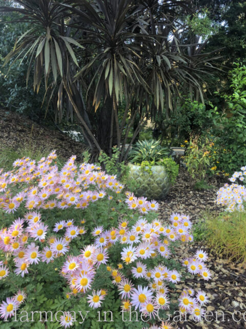Pollinator Garden - Chrysanthemum 'Sheffield's Pink'