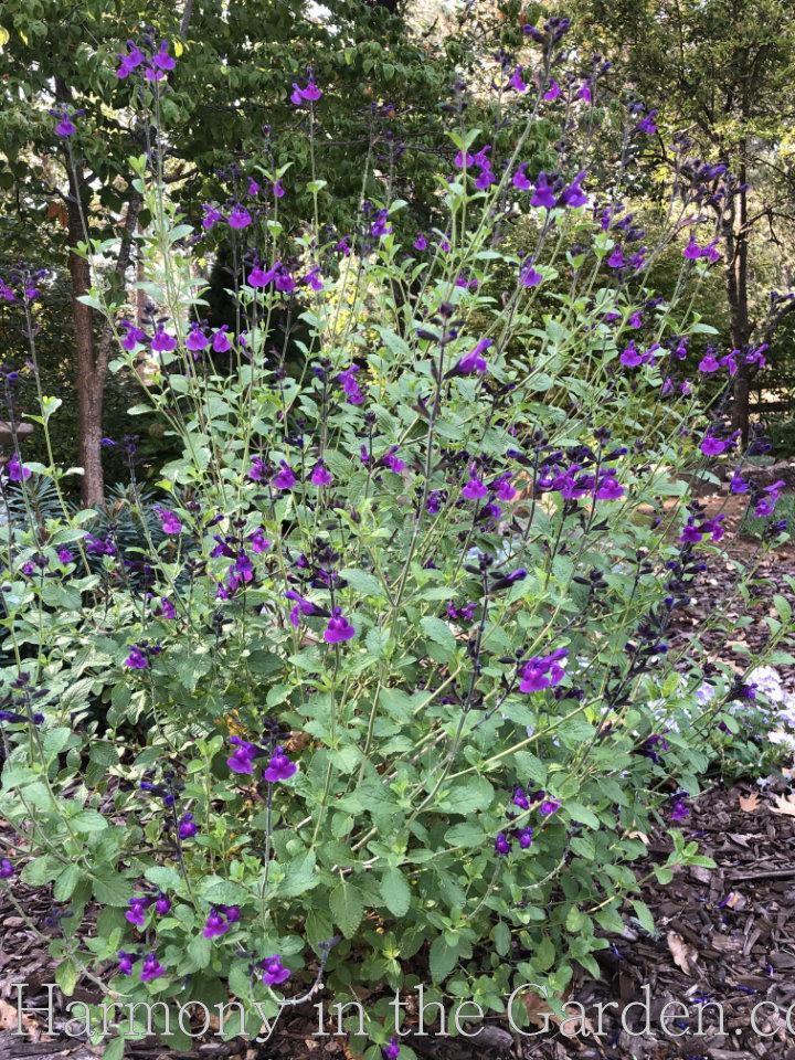 Four Seasons of Salvias