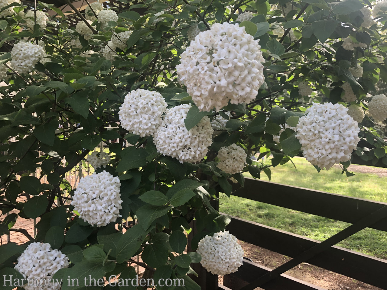 viburnum carlcephalum - scented viburnum