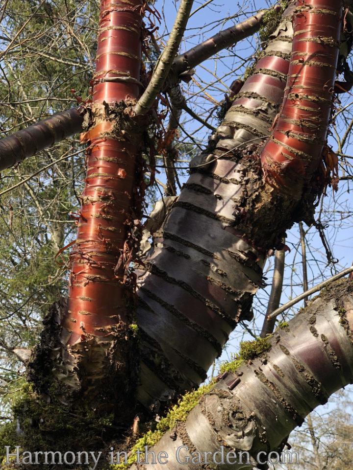 Chinese Red Birch Betula albosinensis var. septentrionalis