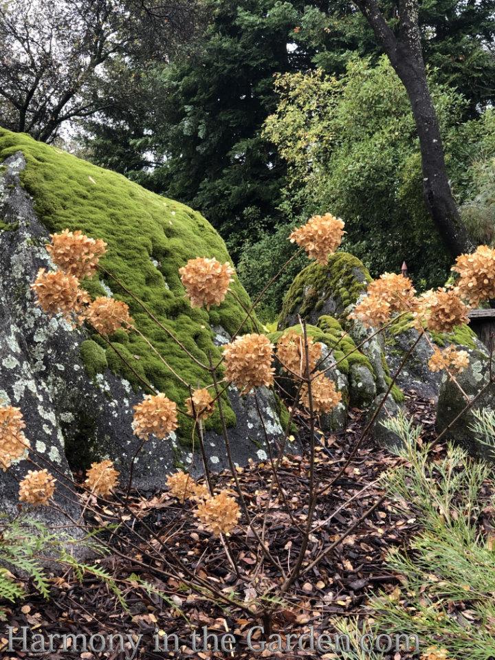 late winter hydrangea flowers