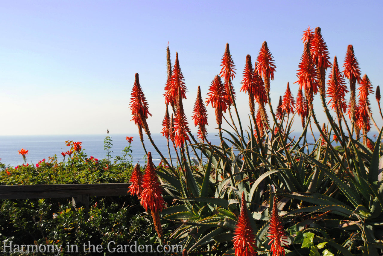 aloe arborescens - late winter flowers