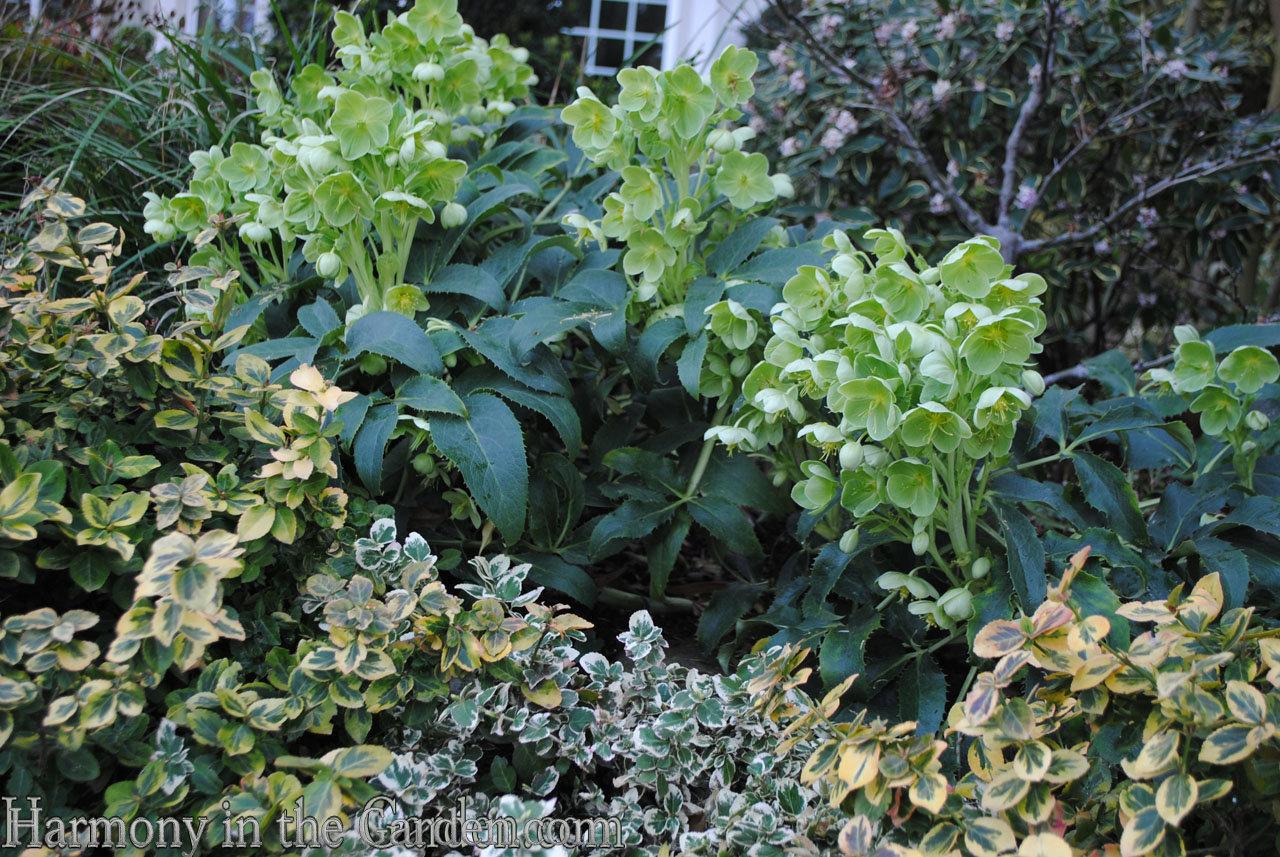 corsican hellebore - late winter flowers