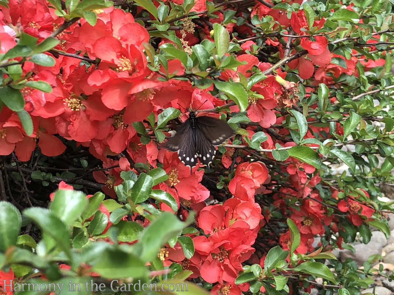 Pipevine Swallowtail and Quince