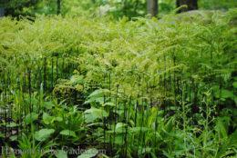 Adiantum pedatum (northern maidenhair fern) copy