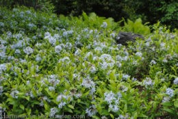 Amsonia tabernaemontana 'Short Stack' (dwarf blue star) copy