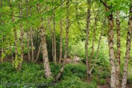 Betula nigra 'Heritage' (River Birch) copy