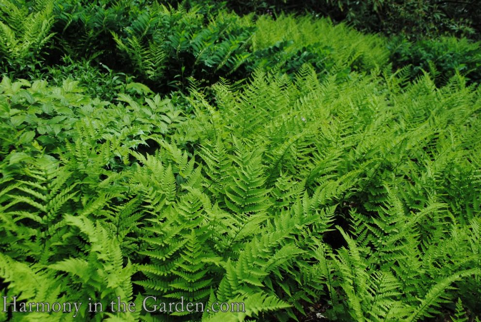 Dryopteris marginalis (marginal wood fern) copy