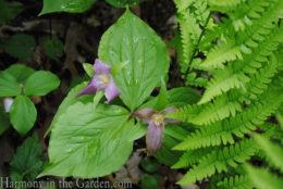 Trillium grandiflorum (large-flowered trillium) copy